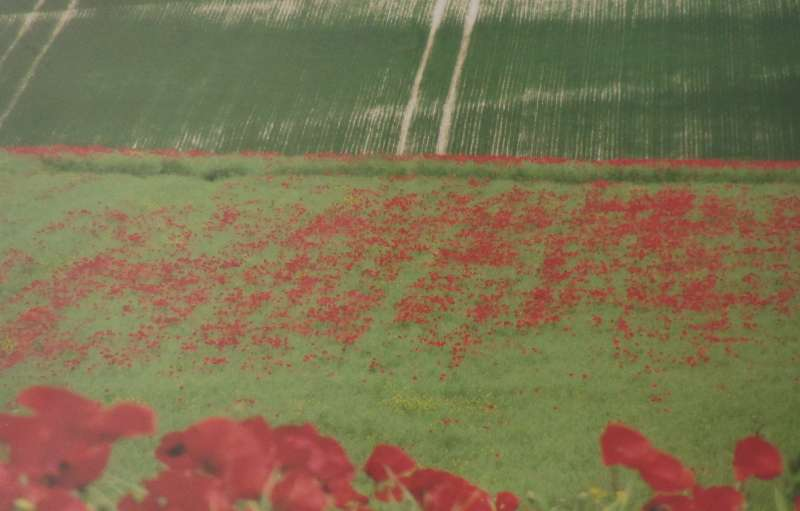 Chalkland Poppies 1/25