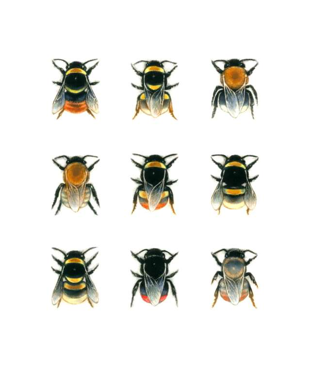 Bumblebee Species 2  23/80